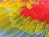 Feathers of a Scarlet Macaw Photographic Print by Arthur Morris