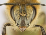 Close-up of honey bee Photographic Print by Charles Krebs