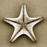 Sugar Starfish Bottom Photographic Print by John Kuss