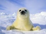 Newborn Harp Seal (Phoca Groenlandica) Pup (yellowcoat), Gulf of the St. Lawrence River, Canada. Na Fotografisk tryk af Wayne Lynch