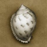 Spotted Bonnet Shell Fotografie-Druck von John Kuss