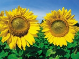 Sunflowers Near Oakbank, Manitoba, Canada Photographic Print by Dave Reede