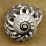 Tiger Snail Photographic Print by John Kuss