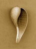 Graceful Fig Shell Reproduction photographique par John Kuss