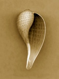Graceful Fig Shell Photographic Print by John Kuss