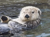 Southern sea otter hold paws up to conserve heat Reproduction photographique par Hal Beral