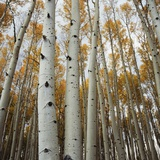 Grove of Coloful Aspens in Fall Photographic Print by Micha Pawlitzki