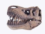 Tyrannosaurus rex skull Fotografie-Druck von Walter Geiersperger