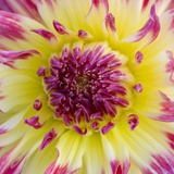 Yellow and red speckled dahlia Fotografisk tryk af Clive Nichols