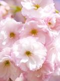 Kirschblüten Fotografie-Druck von Kiyoshi Miyagawa