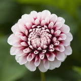 Pink Dahlia Tip Toe Photographic Print by Clive Nichols