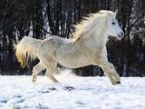 Elderly Welsh-Arab pony running on snow covered meadow Fotografisk trykk av Frank Lukasseck