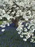 Cherry tree blooming over Muscari armeniacum Fotografisk trykk av Clive Nichols