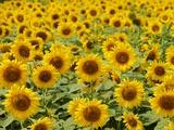 Field of Sunflowers, Full Frame, Zama City, Kanagawa Prefecture, Japan Fotografie-Druck