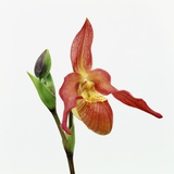 Red orchid Photographic Print by Micha Pawlitzki