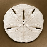Sand Dollar Photographic Print by John Kuss