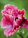 Pink oriental poppy Fotografisk tryk af Clive Nichols