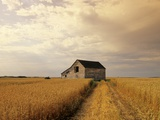 Old Barn in Maturing Spring Wheat Field, Tiger Hills, Manitoba, Canada. Photographic Print by Dave Reede