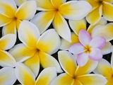 Frangipani Flowers Stretched Canvas Print by Darrell Gulin