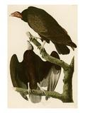 Turkey Buzzard Giclee Print by John James Audubon