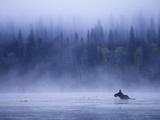 Moose Swimming in Bowron Lake Provincial Park, British Columbia, Canada. Impressão fotográfica por Chris Harris