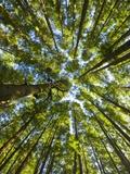 Old growth cedar, hemlock, fir and Sitka spruce forest in fall Fotografisk trykk av John Eastcott & Yva Momatiuk