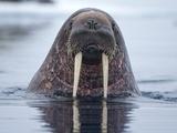 Walrus swimming Fotografie-Druck von Paul Souders