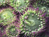 Pink-tipped Surf Anemones, Dodd Narrows, Southern Gulf Islands, Vancouver Island, British Columbia, Fotografie-Druck von Carole Valkenier