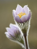 Close-up of Prairie Crocus (Anenome Patens) in Bow Valley Provincial Park, Kananaskis Country, Albe Photographic Print by Darwin Wiggett