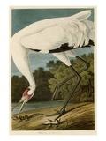 Hooping Crane Giclee Print by John James Audubon