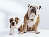 English Bulldog with Puppy Photographic Print by Larry Williams