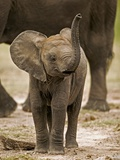 Baby Elephant Photographic Print by Martin Harvey