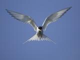 Arctic Tern in Flight Photographic Print by Tim Davis
