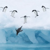 Penguins Jumping into Water Photographic Print by Tim Davis