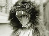 Cat Yawning Fotografie-Druck von Bill Varie