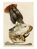Red-Tailed Hawk Giclee Print by John James Audubon