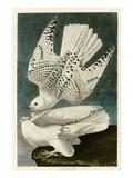 Iceland or Jer Falcon Giclée-tryk af John James Audubon