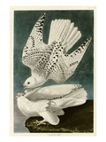 Iceland or Jer Falcon Giclée-vedos tekijänä John James Audubon
