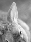 Rabbit's Ear Photographic Print by Henry Horenstein