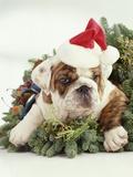 Bulldog Wearing Santa Claus Hat Photographic Print by Larry Williams