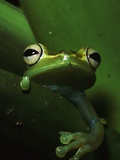 Green Tree Frog in Green Leaves Photographic Print by Joe McDonald