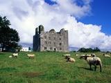 Sheep Grazing near Leamaneagh Castle Reproduction photographique par Richard Cummins