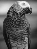 Parrot Turning Head Premium Photographic Print by Henry Horenstein