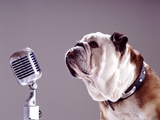 Bulldog Preparing to Sing into Microphone Photographic Print by Larry Williams