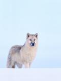 Gray Wolf in Snow Fotografie-Druck von Jeff Vanuga