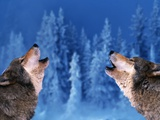 Pair of Howling Gray Wolves Fotografie-Druck von Jeff Vanuga