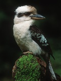Laughing Kookaburra Perched on Log Reproduction photographique par Martin Harvey