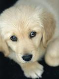 Golden Retriever Puppy Fotografie-Druck von Bill Varie