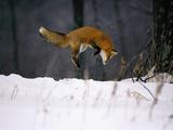 Red Fox Jumping in the Snow Fotografie-Druck von John Conrad