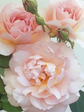 Belle Storey Roses Fotografisk tryk af Clay Perry